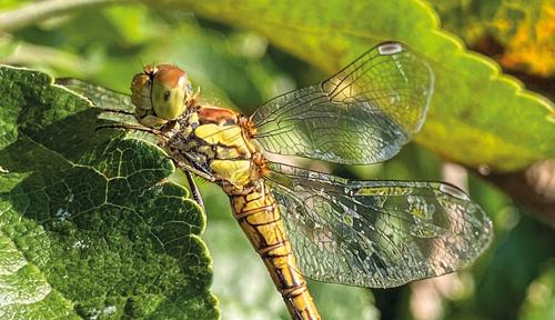 fotografia vážky